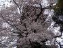 池上本門寺の桜、後ろにあるのは五重塔