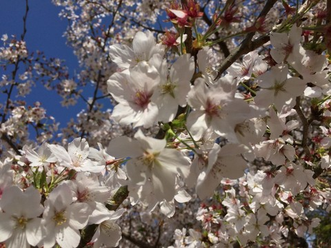 諫早公園の桜