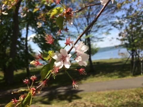 洞爺湖の桜